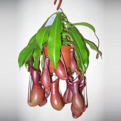 Indoor plants online in dubai-uae-Monkey Jar-Nepenthes