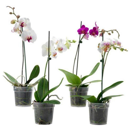 Indoor plants online in dubai-uae-Moth Orchids-Orchid plant