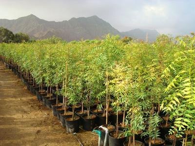 Outdoor plants online in dubai-uae Neem-Tree-Azadirachta-indica