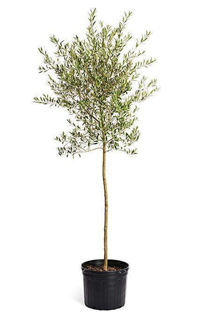 Outdoor plants online in dubai-uae Olive-Olea-europaea