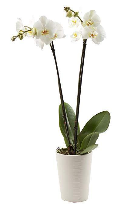 Indoor plants online in dubai-uae-Orchid - Phalaenopsis