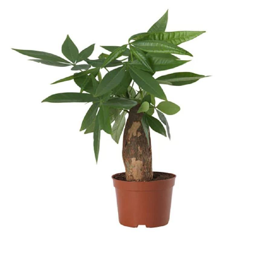 Indoor plants online in dubai-uae-Pachira Small-mini money tree