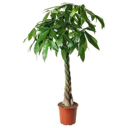 Indoor plants online in dubai-uae-Pachira Twisted-money tree