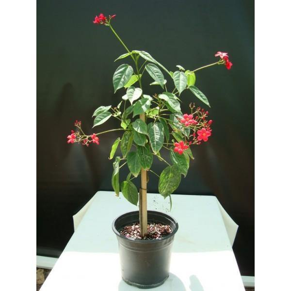 Outdoor plants online in dubai-uae Peregrina-Jatropha-integerrima