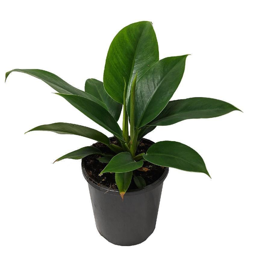 Indoor plants online in dubai-uae-Philodendron 'Imperial Queen'-air purifying houseplant