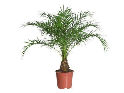 Indoor plants online in dubai-uae-Phoenix Roebelenii=Miniature Date Palm-