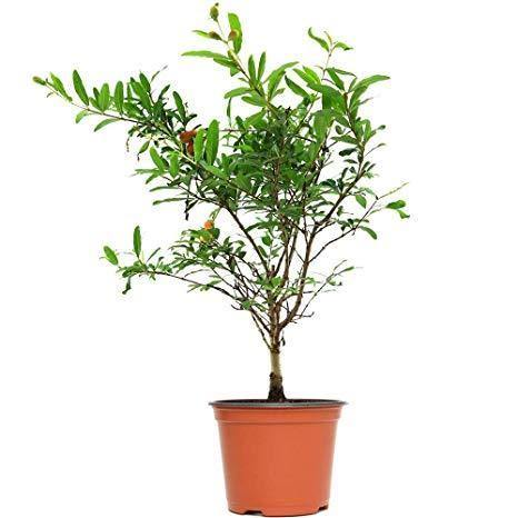 Outdoor plants online in dubai-uae Pomegranate-Punica-granatum