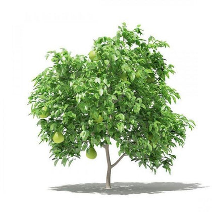 Outdoor plants online in dubai-uae Pomelo-Citrus-maxima