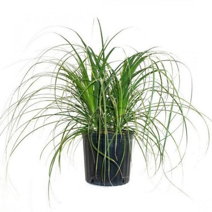 Outdoor plants online in dubai-uae Ponytail-Palm-Beaucarnea-recurvata