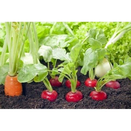 Outdoor plants online in dubai-uae Radish-Raphanus-sativus