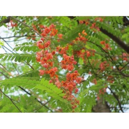 Outdoor plants online in dubai-uae Red-Cassia-Cassia-roxburghii