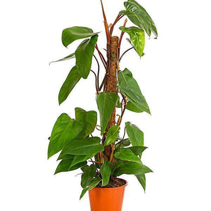 Indoor plants online in dubai-uae-Red Emerald Philodendron=Philodendron erubescens-