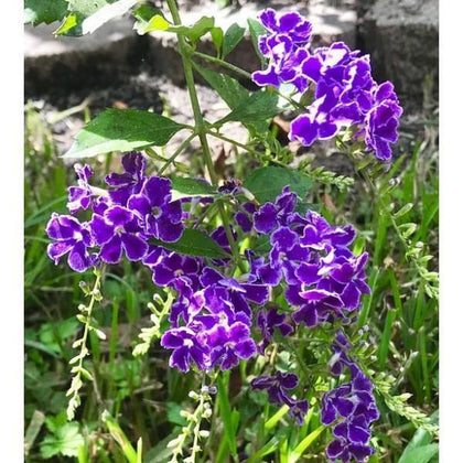 Outdoor plants online in dubai-uae Sapphire-Showers-Duranta-erecta