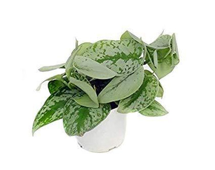 Indoor plants online in dubai-uae-Satin Pothos-money plant