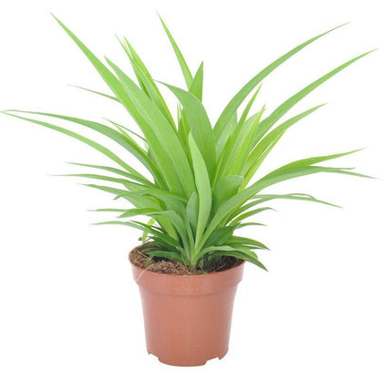 Indoor plants online in dubai-uae-Spider Plant Lemon-Chlorophytum