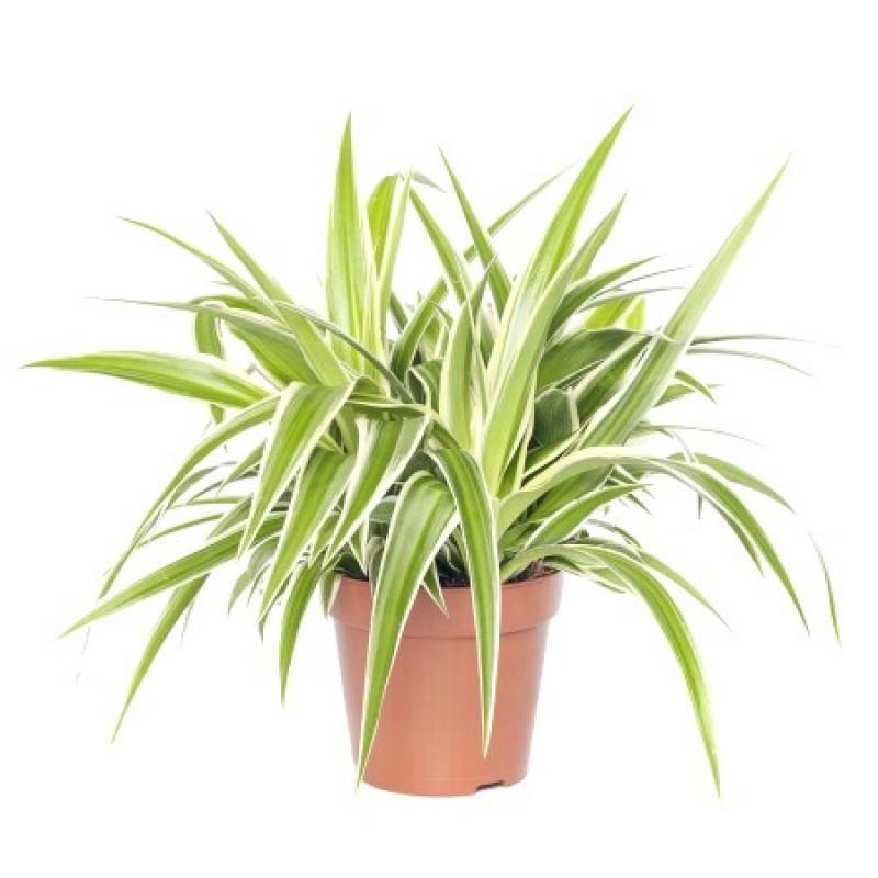 Indoor plants online in dubai-uae-Spider Plant-Chlorophytum