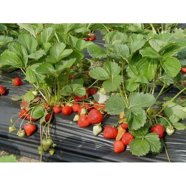 Outdoor plants online in dubai-uae Strawberry-Fragaria-×-ananassa