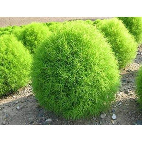 Outdoor plants online in dubai-uae Summer-Cypress-Bassia-scoparia