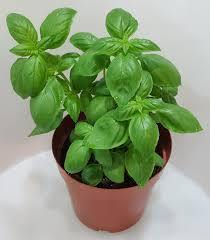 Outdoor plants online in dubai-uae Sweet-Basil-Ocimum-basilicum