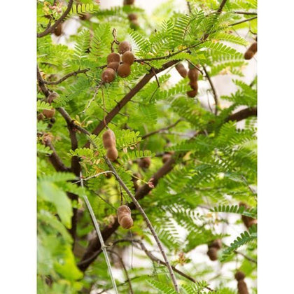 Outdoor plants online in dubai-uae Tamarind-Tree-Tamarindus-indica