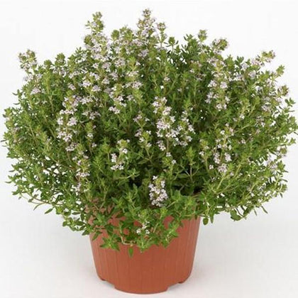 Outdoor plants online in dubai-uae Thyme-Thymus-vulgaris