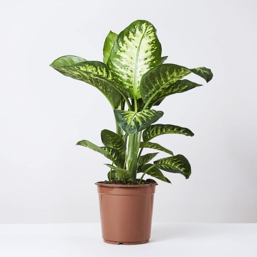 Indoor plants online in dubai-uae-Tropic Snow-Dieffenbachia seguine