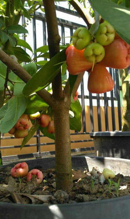 Outdoor plants online in dubai-uae Water-Apple-Syzygium-samarangense