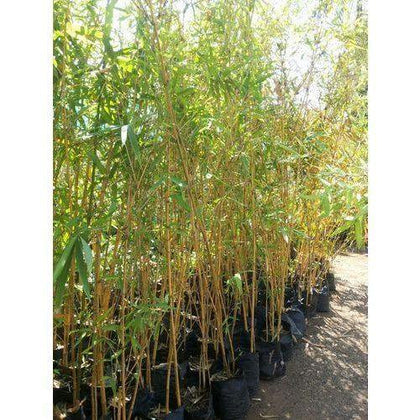 Outdoor plants online in dubai-uae Yellow-Bamboo-Bambusa-vulgaris