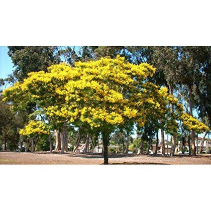Outdoor plants online in dubai-uae Yellow-Poinciana-Peltophorum-pterocarpum