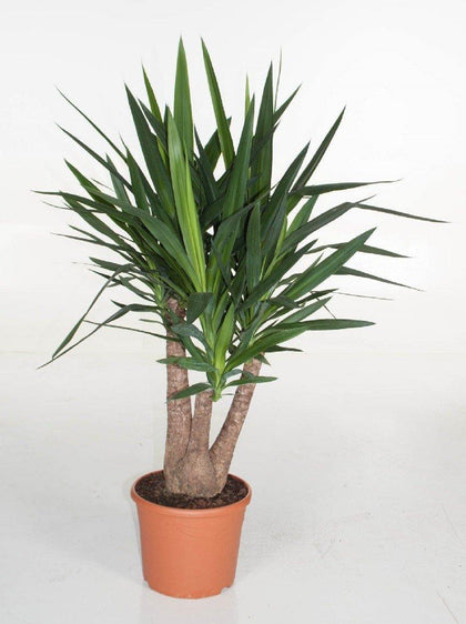 Indoor plants online in dubai-uae-Yucca Branched-air purifying indoor plant