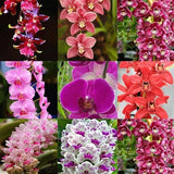 New Nice Adorable Flower Fragrant Seeds Fragrant Blooms Cymbidium Seeds
