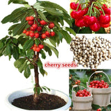 20PCs Delicious Cherry Seeds Organic Seeds Cherry Fruit Seeds Bonsai Tree High Seed In The Garden