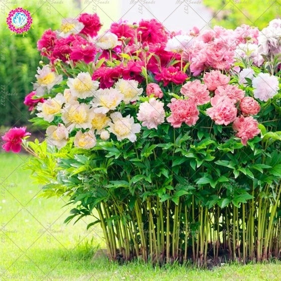 10 pcs Mixed Colour Double Blooms Peony Seeds Heirloom Peony Seeds Bonsai Flower Seeds Perennial Garden Flower Plant