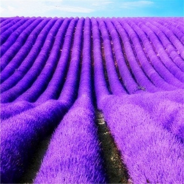 100/200 Pcs Provence Lavender Seed Organic Seed Plant Bonsai Garden Plant Potted
