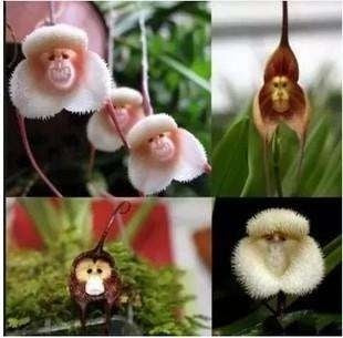 Mokey Face Orchid
