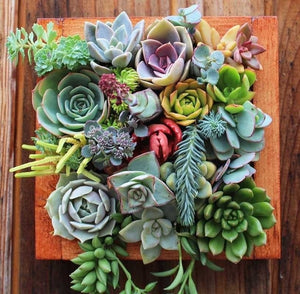 100pcs rare succulent plant seeds garden home decoration easy to plant potted multicolor flower seeds garden bonsai seeds