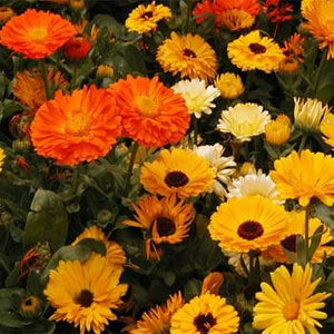 Calendula Cleans Wounds From the Inside Out