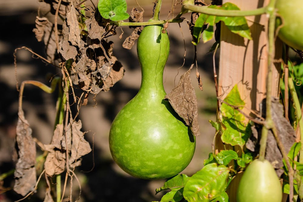 courge a mate