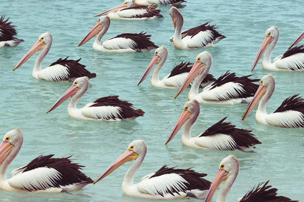 Queensland Pelicans