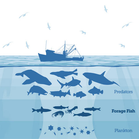 forage fish in food chain