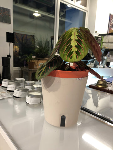 "Prayer plant potted in 6.5"" self-watering round pot (orange)"