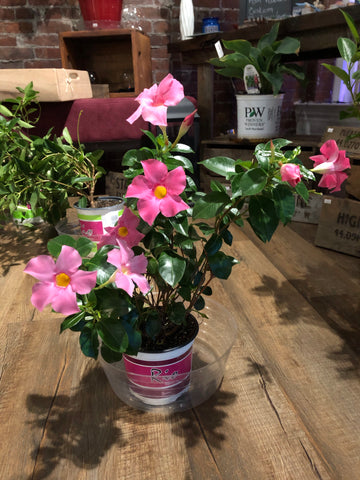 "Dipladenia tropical floral vine plant in 6"" pot"
