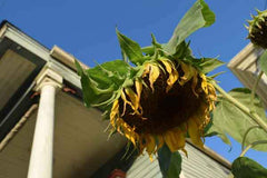 Sunflower in the City of New Orleans Photo by Dawn Richerson