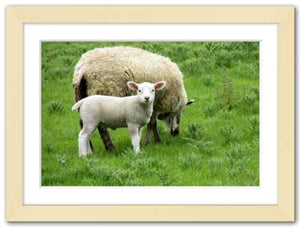 Ewe and Me ☼ Soul of Ireland {Photo Print} Photo Print New Dawn Studios 8x12 Framed