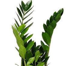 Load image into Gallery viewer, ZZ Plant (Zamioculcas zamiifolia )