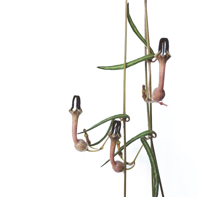 String of birdwings (Ceropegia Linearis)