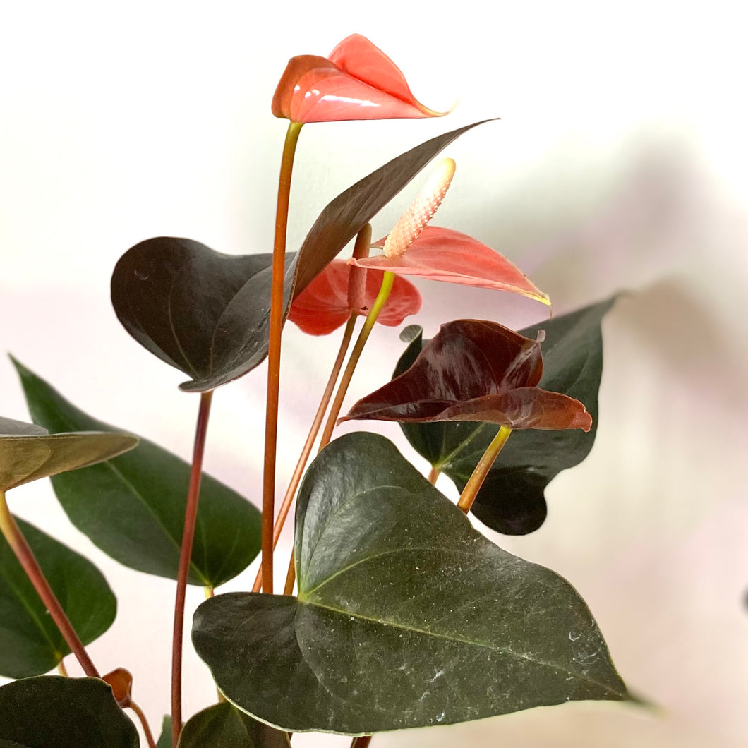Anthurium 'Rainbow Champion' ( Anthurium Andraeanum) - Final restock