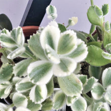Load image into Gallery viewer, Cotyledon Tomentosa (Bear's Paw) pair