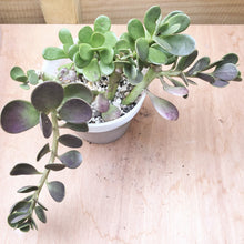 Load image into Gallery viewer, Senecio Jacobsenii (Trailing Jade)
