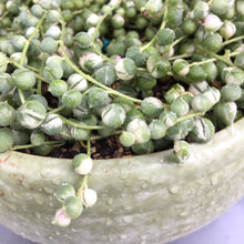 Load image into Gallery viewer, Variegated String of Pearls (Senecio Rowleyanus Variegata) - In propagation